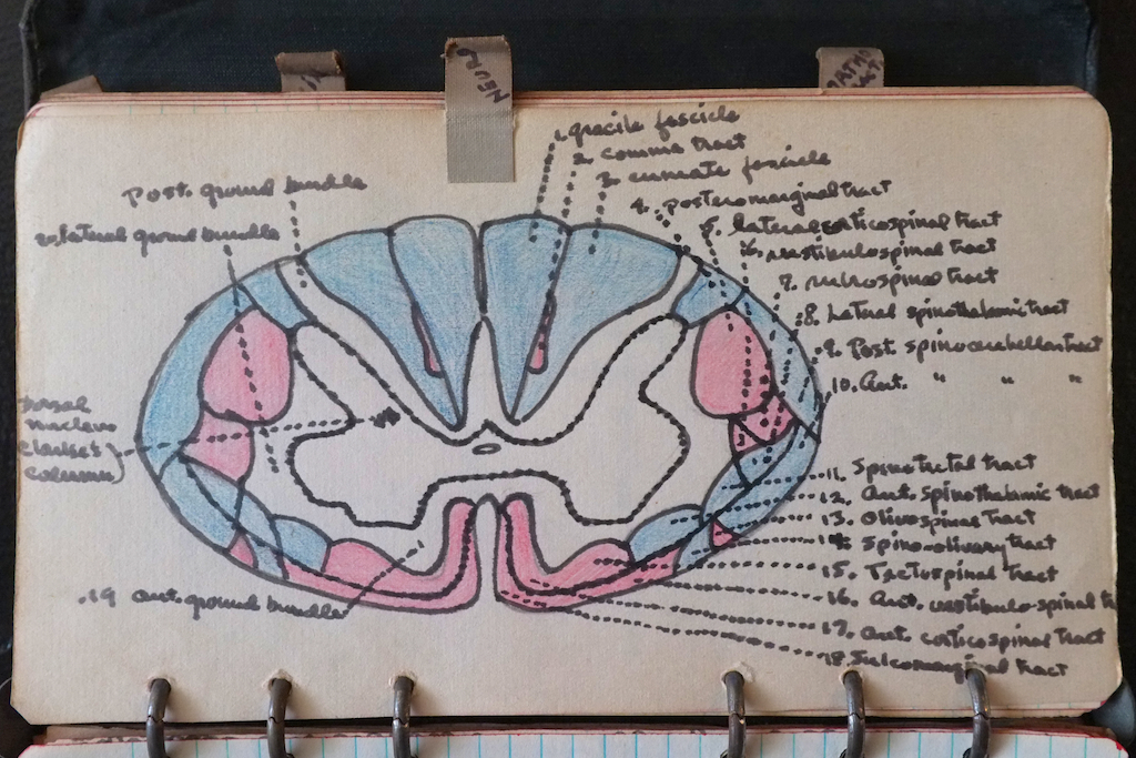 Detailed illustration of the brain.
